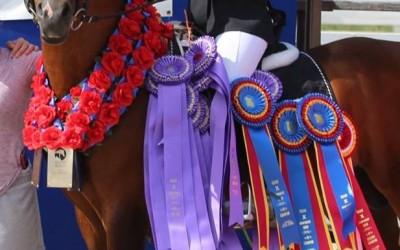 Standing @ Stud Cairos+ Legion of Honor, US Sport Horse Top Ten Winner & Region 10 Champion
