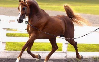 Arabian Stallion at Stud 2018 extraordinary incentives