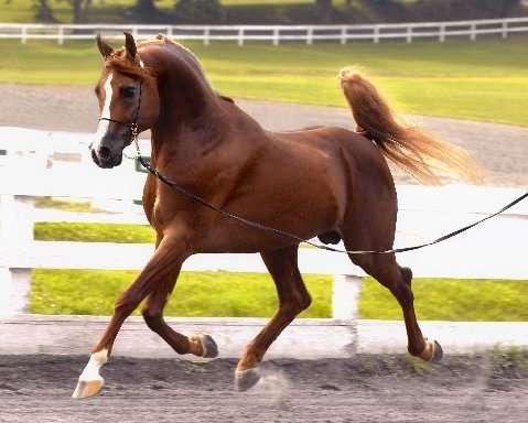 Arabian Stallion at Stud 2018 extraordinary incentives