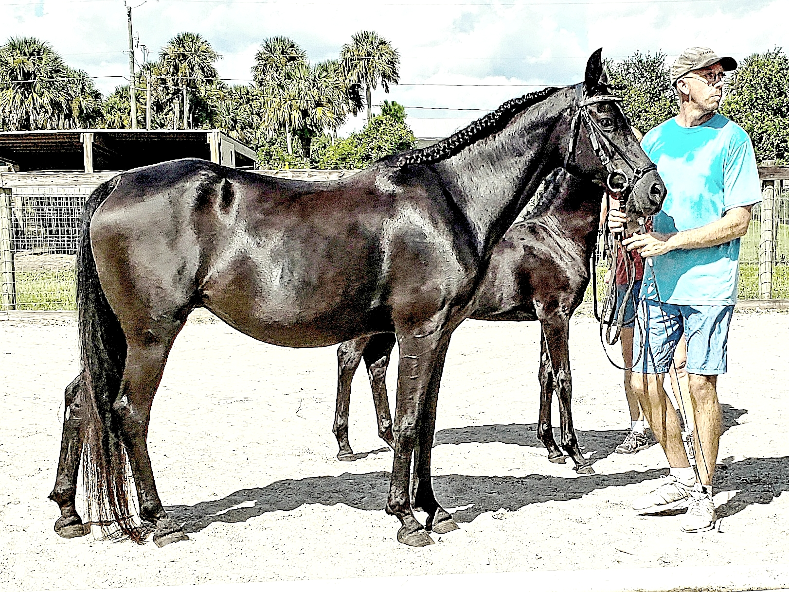 Old Bloodines — 15 year old Arabian Mare for sale or free lease