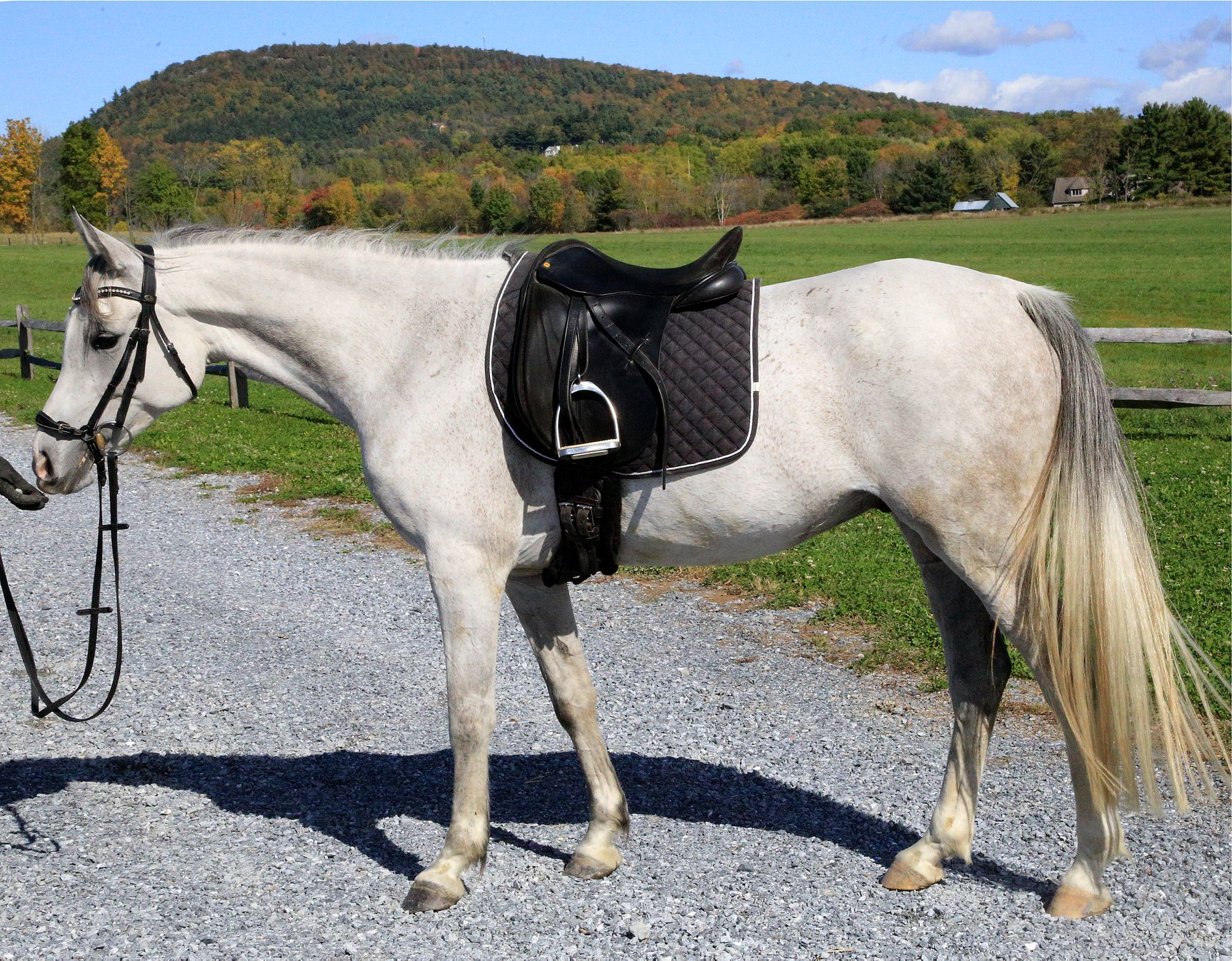 FCF Pucks Vision – well started Arabian gelding