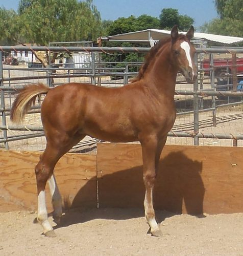 """""""Charm"""" 2015 FIlly (Elikzir x Pouilly Fuisse R- Hanoverian)"""